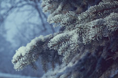 Winter frost on spruce tree. Close-up .Shallow depth-of-field Stock Photo