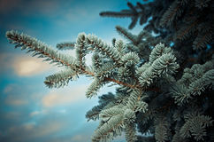 Winter frost on spruce tree. Close-up .Shallow depth-of-field Royalty Free Stock Photos