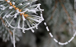 Winter frost on spruce tree close-up Royalty Free Stock Photos