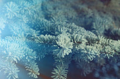 Winter frost on spruce tree  close-up. Shallow depth-of-field Royalty Free Stock Images