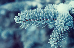 Winter frost on spruce tree close-up Royalty Free Stock Photography