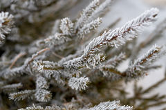 Winter frost on tree. Royalty Free Stock Photo