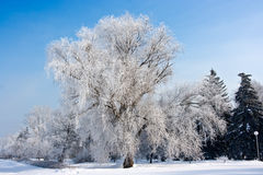 Winter frost tree. Beautiful winter frost tree on an azure background Stock Images