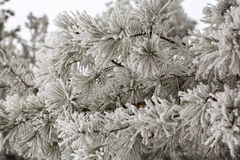 Winter frost on trees Royalty Free Stock Images