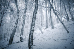 Winter with frost on trees in forest Royalty Free Stock Photo
