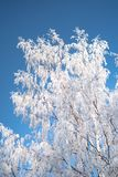 Winter Frost on White Birch tree stock images