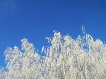 Winter frost in the wild and tree. Royalty Free Stock Photo