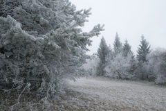 A winter frosted forest landscape. With frosted pine tree on front left side Stock Photo