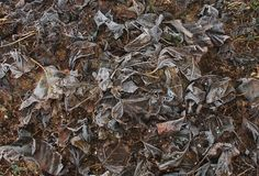 Winter Frosted Mulberry Leaves Royalty Free Stock Photo