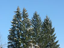 Snow-covered green fir-trees. Winter frosty cloudless day, snow-covered green spruce trees on a background of a cloudless winter sky Stock Images