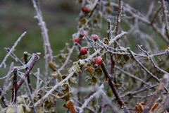 Winter. Frosty dog rose. Winter in the city. Frosty dog rose. Cold and frosty weather stock photo