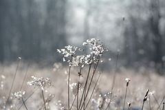 Winter - Frosty grass. Frosty grass on the meadow in winter Stock Photos