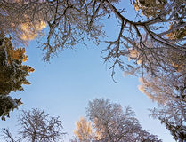 Winter frosty morning sky view through the tree top Royalty Free Stock Image