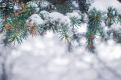 Winter frosty spruce  tree Stock Photo