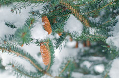 Winter frosty spruce  tree Royalty Free Stock Photo