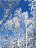 Winter. frosty trees. Winter landscape.frosty trees on blue sky background Royalty Free Stock Photos