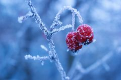 Winter frozen berries of hawthorn on branch with ice frost stock images