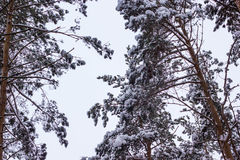 Winter frozen forest and trees. Russian winter frozen forest and trees ander snow royalty free stock image
