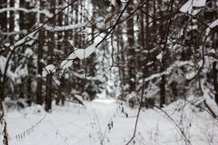 Winter frozen forest and trees. Russian winter frozen forest and trees ander snow Stock Image