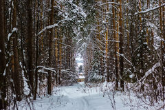 Winter frozen forest and trees. Russian winter frozen forest and trees ander snow Royalty Free Stock Images
