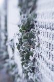 Winter frozen ivy Royalty Free Stock Photo