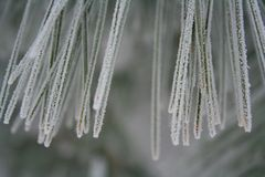 Winter frozen needles of a pine tree branch Stock Photography