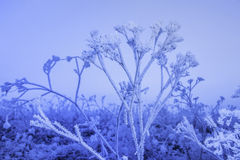 Winter frozen plant Stock Image