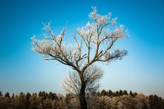 Winter frozen tree on blue sky. Winter frozen tree in the middle of field next to forest stock photography