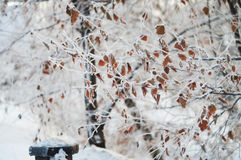 Winter frozen tree branches Stock Photo