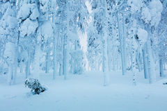 Winter frozen trees in forest - a lot of snow after blizzard Stock Photos