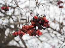 Winter frozen viburnum berries Stock Photography