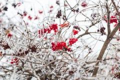 Winter Frozen Viburnum in frost. Viburnum In The Snow Stock Image