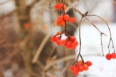 Viburnum In The Snow. Beautiful winter stock photography