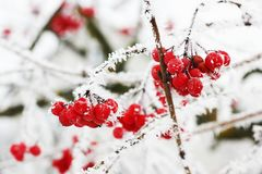Winter Frozen Viburnum Under Snow. Viburnum In The Snow. First snow. Autumn and snow. Beautiful winter stock photos