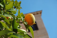 Winter fruit. Clementine on green tree with old building on background stock image