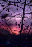 Winter Fruit Tree Silhouette on a Bright Purple Pink Sunset Back stock photo