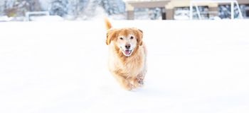 Happy golden retriever dog running and playing in the snow during winter royalty free stock image