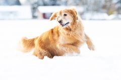 Happy golden retriever dog running and playing in the snow during winter stock image
