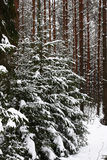 Winter. Fur-trees in a pine forest. Among pine wood some fur-trees covered by snow stand in a row Stock Photo