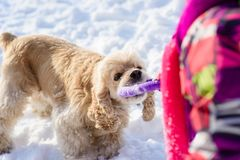 Close-up of cocker spaniel catching ring purple toy royalty free stock photo