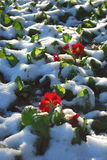 Winter in a garden. Winter in garden with snow and red flower Stock Image
