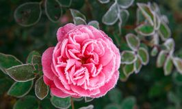 Winter in the garden. The first frosts and frozen rose flowers. royalty free stock photos