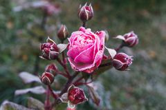Winter in the garden. The first frosts and frozen rose flowers. Winter in the garden. Hoarfrost on the petals of a pink rose, the first frost stock photo