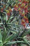 Flowering Aloe cryptopoda a native of southern africa Royalty Free Stock Images
