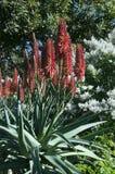 Flowering red hot poker aloe plant. Winter in the garden Sydney, Australia stock images