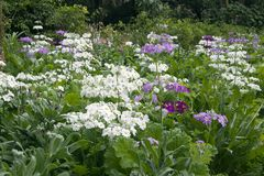 Garden bed of  primula flowers in bloom Stock Photos