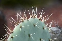 Long sharp thorns of a Opuntia Robusta cactus paddle Royalty Free Stock Photo