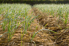 Winter garlic growing through hay in early spring. At the bakcground royalty free stock image