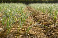 Winter garlic growing through hay in early spring Royalty Free Stock Image