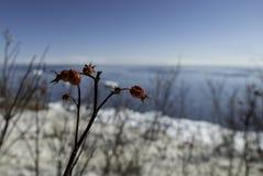 Winter gefriertrocknete reife Hagebutten auf einem Morgenküstenhintergrund des blauen Himmels stockbild